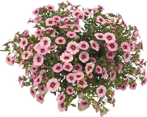 Zauberglöckchen Calibrachoa-Cultivars Ø 12 cm Topf