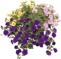 Zauberglöckchen Trio FloraSelf Calibrachoa-Cultivars Ø 12 cm Topf