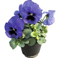 Stiefmütterchen FloraSelf Viola wittrockiana Ø 12 cm Topf sortiert