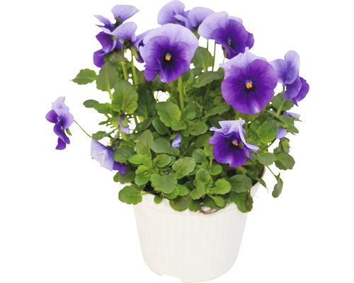 Hornveilchen FloraSelf Viola cornuta Ø 12 cm Topf sortiert