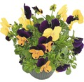 Hornveilchen Viola cornuta Ø 12 cm Topf sortiert