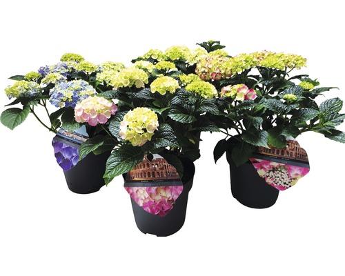 Hortensie FloraSelf Hydrangea macrophylla H 25-30 cm Co 5 L zufällige Sortenauswahl