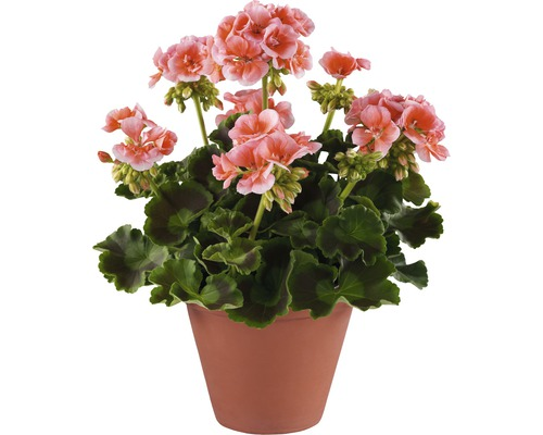 Stehende Geranie FloraSelf Pelargonium zonale Ø 12 cm Topf
