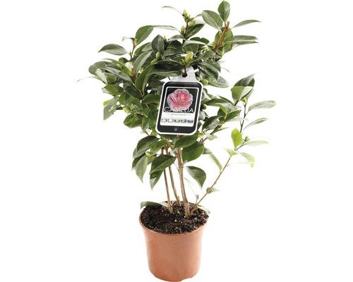 Japanische Kamelie FloraSelf Camellia japonica 'Mix' H 30-40 cm Co 1,5 L zufällige Sortenauswahl