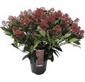 Japanische Blütenskimmie FloraSelf Skimmia japonica 'Rubella' H 30-40 cm Co 3 L