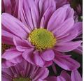 Chrysantheme FloraSelf Chrysanthemum indicum 'Fashion' Ø 23 cm Topf