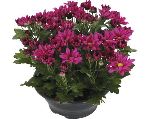 Chrysantheme FloraSelf Chrysanthemum indicum 'Ramires' Ø 23 cm Topf