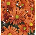 Chrysantheme FloraSelf Chrysanthemum indicum 'Jive Time' Ø 23 cm Topf