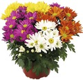 Chrysantheme Mix FloraSelf Chrysanthemum indicum Mix Ø 23 cm Topf