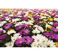 Chrysantheme FloraSelf Chrysanthemum indicum 'Carnaval' Ø 12 cm Topf