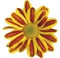 Chrysantheme FloraSelf Chrysanthemum indicum 'HoiHoi' Ø 12 cm Topf