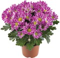 Chrysantheme FloraSelf Chrysanthemum indicum 'Artistic Armin' Ø 12 cm Topf