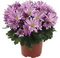 Chrysantheme FloraSelf Chrysanthemum indicum 'Artistic Rosy' Ø 12 cm Topf
