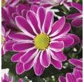 Chrysantheme FloraSelf Chrysanthemum indicum 'Artistic Armin' Ø 12 cm Topf