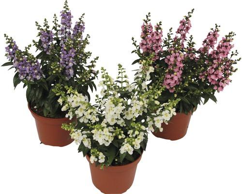 Angelonia FloraSelf Angelonia augustifolia 'Serenita' H 20-25 cm Ø 12 cm Topf