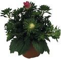 Sommeraster FloraSelf Callistephus chinensis 'Starlight' H 20-25 cm Ø 12 cm Topf