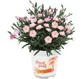 Stauden-Nelke 'Peach Party' FloraSelf Ø 10,5 cm Topf