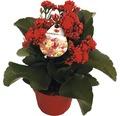 Flammendes Käthchen zweifarbig FloraSelf Kalanchoe blossfeldiana 'Gardenline' H 20-25 cm Ø 12 cm Topf