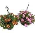 Hängepetunie zweifarbig FloraSelf Petunia x Hybride, Ø 23 cm Ampel
