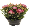 Chrysantheme FloraSelf Chrysanthemum indicum 'Pink Secret' Ø 23 cm Topf