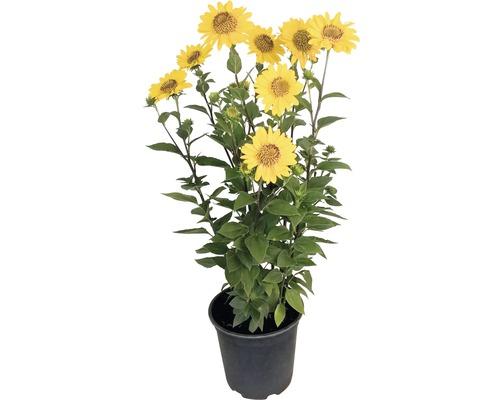 Stauden-Sonnenblume FloraSelf Helianthus decapetalus Ø 24 cm Topf 30 Jahre FloraSelf Edition