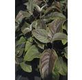 Samthortensie, Fellhortensie FloraSelf Hydrangea aspera 'Plum Passion' H 40-60 cm Co 6 L