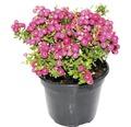 Torfmyrte FloraSelf Gaultheria (Pernettya) mucronata 'Pink' H 20-30 cm Co 1,2 L (3 Stk.)