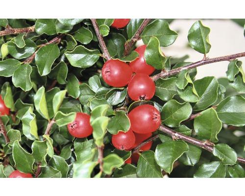 Felsen-Zwergmispel Halbstamm Cotoneaster praecox 'Boer' Ha ca. 40 cm Co 6 L