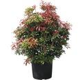 Lavendelheide Pieris japonica 'Mountain Fire' H 50-60 cm Co 15 L