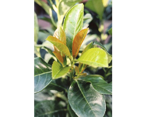 "Kirschlorbeer FloraSelf Prunus laurocerasus ""Etna""® H 60-80 cm Co 10 L"