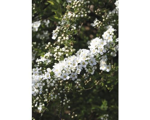 "Weiße Rispenspiere FloraSelf Spiraea cinerea ""Grefsheim"" H 80-100 cm Co 10 L"