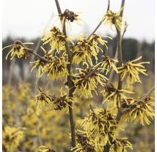 Zaubernuss FloraSelf Hamamelis intermedia