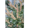 "Schattenglöckchen FloraSelf Pieris japonica ""Cupido"" H 40-50 cm Co 6 L"