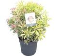 "Schattenglöckchen FloraSelf Pieris japonica ""Flaming Silver"" H 40-50 cm Co 6 L"