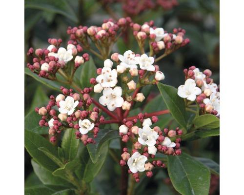 Mittelmeer - Schneeball FloraSelf Viburnum tinus H 50-60 cm Co 10 L