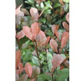 Zwerg-Glanzmispel FloraSelf Photinia fraseri 'Little Red Robin'® H 50-60 cm Co 15 L