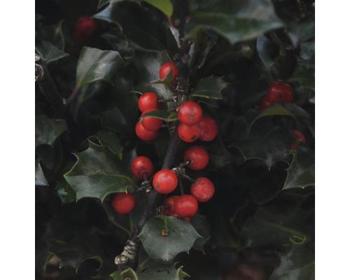 Stechpalme FloraSelf Ilex meserveae 'Blue Holly' H 50-60 cm Co 18 L