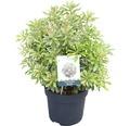 japanische Lavendelheide FloraSelf Pieris japonica 'Ralto Rose' H 40-50 cm Co 6 L