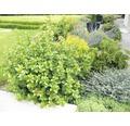 Mittelmeer - Schneeball FloraSelf Viburnum tinus 'Lisarose' H 60-80 cm Co 18 L