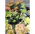 Bauernhortensie FloraSelf Hydrangea macrophylla 'Rendezvouz' H 30-40 cm Co 5 L