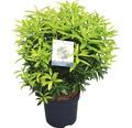 japanische Lavendelheide FloraSelf Pieris japonica 'Brouwers Beauty' H 40-50 cm Co 6 L
