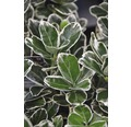 Spindelstrauch FloraSelf Euonymus japonica 'Kathy' Halbstamm 40 cm H 60-80 cm Co 6 L