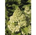 Rispenhortensie FloraSelf Hydrangea paniculata 'Limelight' Halbstamm 125 cm H 150-175 cm Co 18 L