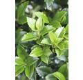 Stechpalme FloraSelf Ilex meserveae 'Heckenstar' H 80-100 cm Co 10 L