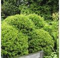 Bergilex Kugel FloraSelf Ilex crenata 'Stokes' H 30-35 cm Co 6,5 L