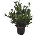niedriger Kirschlorbeer FloraSelf Prunus laurocerasus 'Otto Luyken' H 60-80 cm Co 10 L