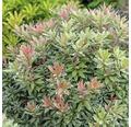 japansiche Lavendelheide FloraSelf Pieris japonica 'Little Heath' H 40-50 cm Co 6 L