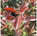 Glanzmispel FloraSelf Photinia fraseri 'Camilvy' H 100-125 cm Co 15 L