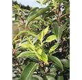 portugiesischer Kirschlorbeer FloraSelf Prunus lusitanica 'Angustifolia' Halbstamm 125 cm H 150-175 cm Co 18 L