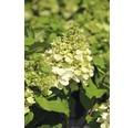 Rispenhortensie FloraSelf Hydrangea paniculata 'Magical Mont Blanc' H 80-100 cm Co 10 L